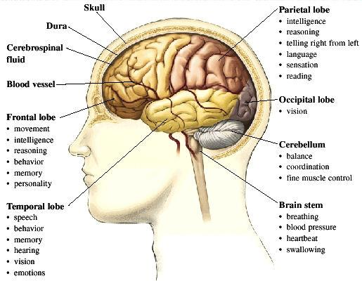 Brain diagram and map of areas and functions